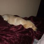 Winston the Yellow Labrador Retriever